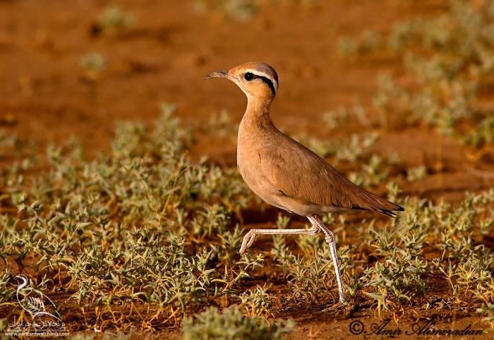 دودوک پرنده ظریف ایرانی