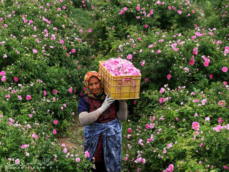 چیدن گل محمدی همراه با انجام مراسم مذهبی خاص است.