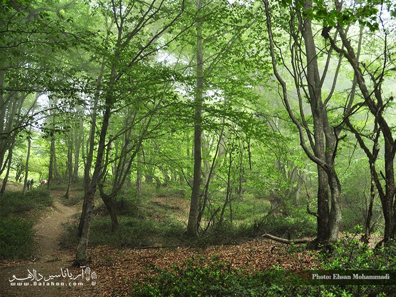 مسیر زیبای جنگل الیمستان و پوشش خزهای درختان در فصل بهار