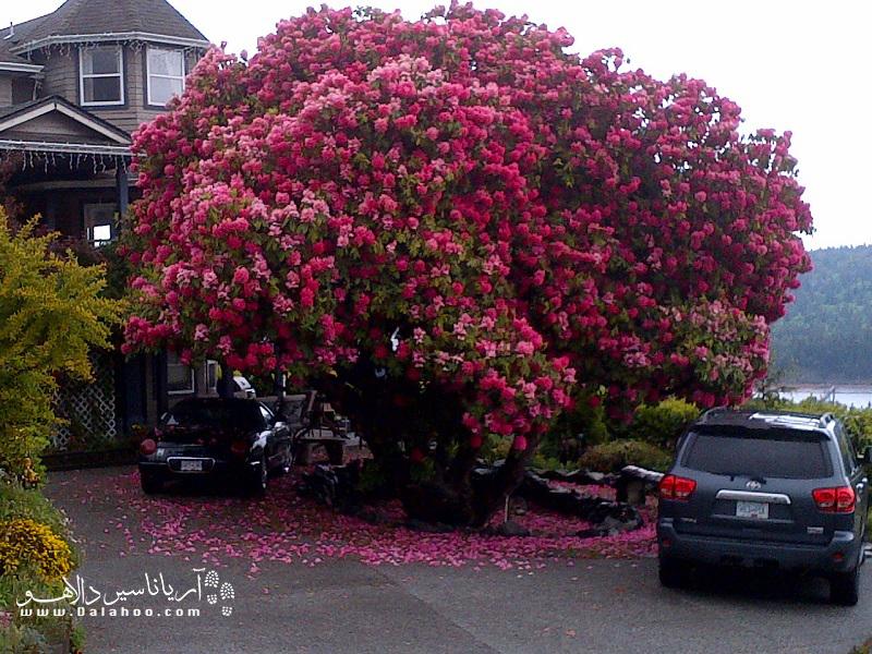 این درخت با قدمتی بیش از ۱۲۵ سال، در کانادا است.