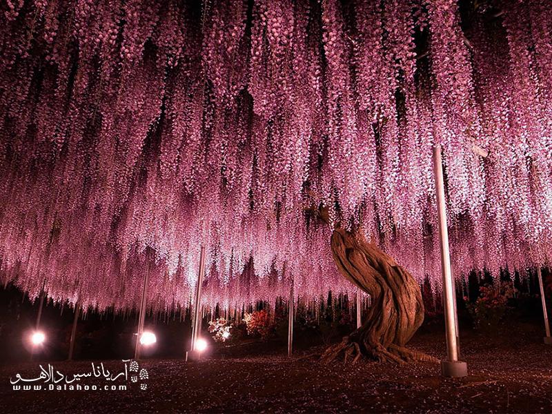درخت گل ۱۴۴ ساله در ژاپن.