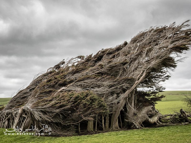 دستهای از درختان در جنوب نیوزلند هستند که به دلیل وزش باد شدید در منطقه، به این شکل رشد کرده.