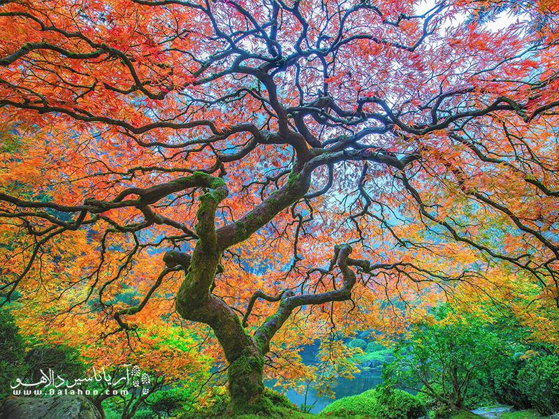 درخت افرای ژاپنی در اورِگون پورتلند.