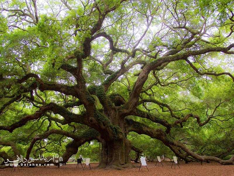 جزیرهی جان در کارولینای جنوبی، این درخت بلوط زیبا را میزبانی میکند.