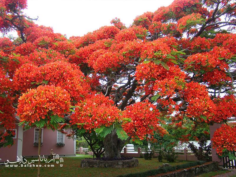 ظاهر این درخت سبب شده آن را زبانه آتش یا شعله بنامند.