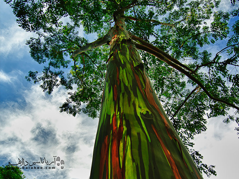 درخت اکالیپتوس رنگینکمانی در امتداد مناطق جنوبی اقیانوس آرام میروید.