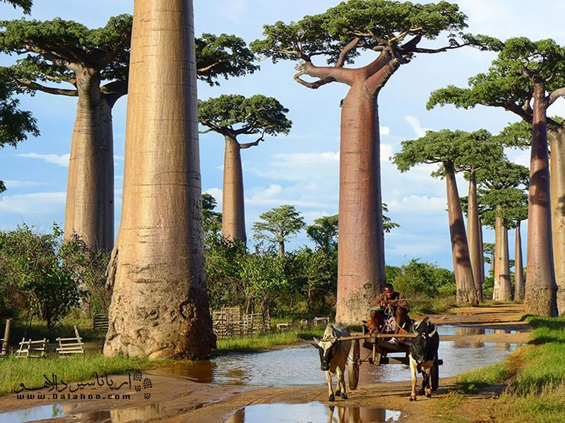 درختان حیرتانگیز بائوباب در ماداگاسکار میرویند.