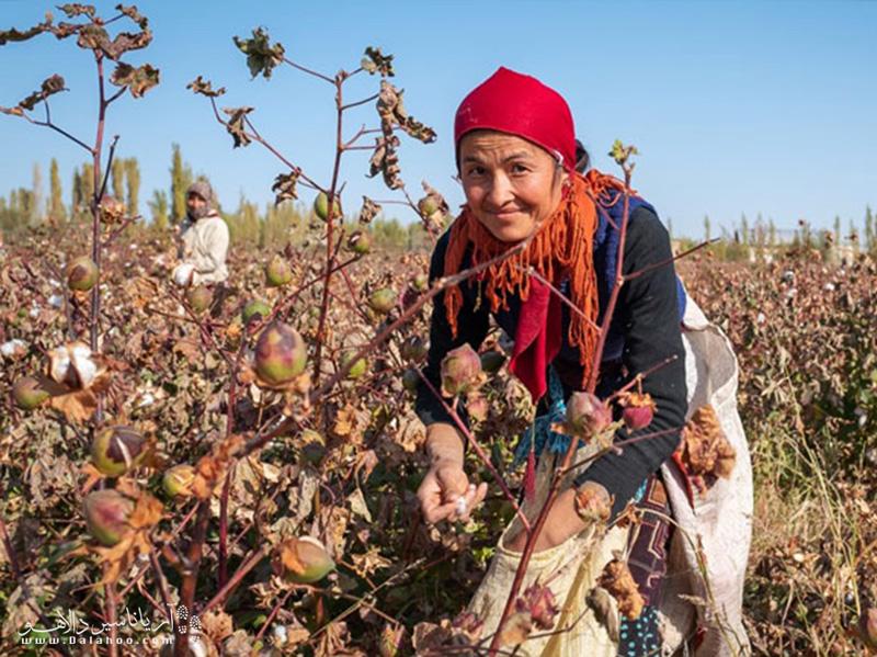 مزارع پنبه ازبکستان
