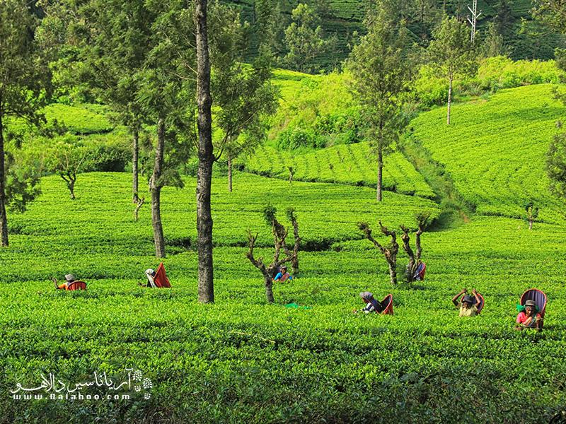بازدید از این زمین چای و دیدن نحوه تولید چای پرطرفدار کوپا (cuppa) حتما برایتان تجربهای فوقالعاده خواهد بود.