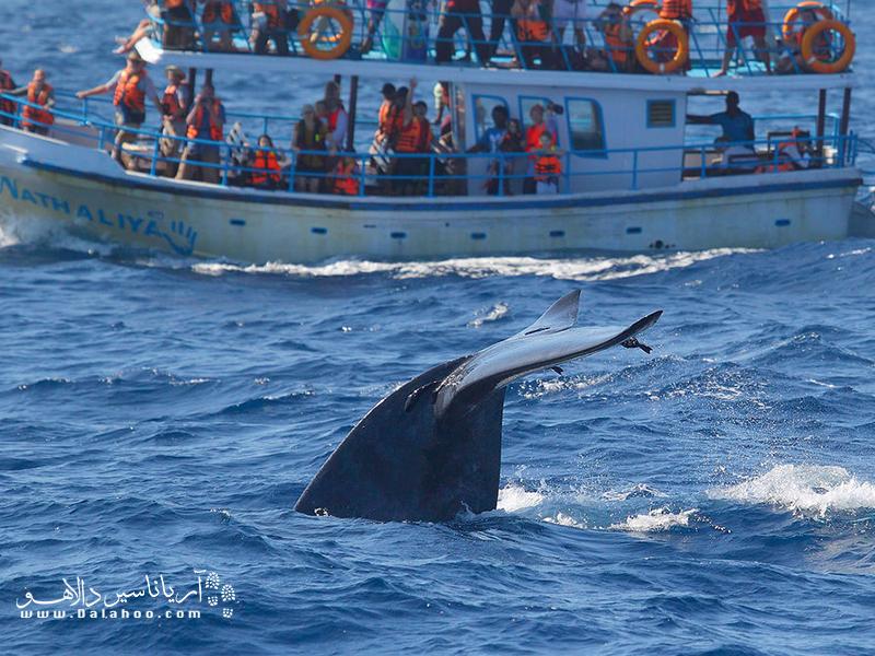 آبهای سریلانکا خانه بزرگترین موجود کره زمین، یعنی نهنگ آبیرنگ، است (صرف نظر از سایر نهنگهای کوچکتر).