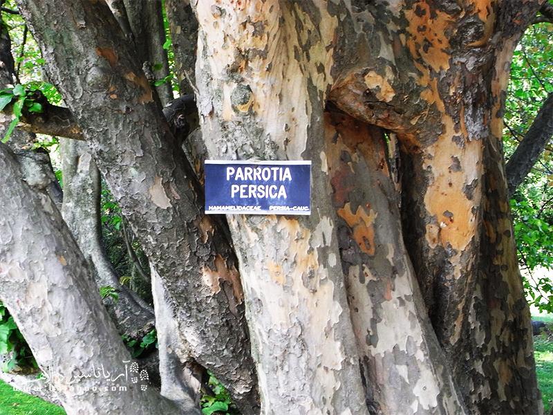 تنه درخت انجیلی که در جنگلهای هیرکانی زیاد آن را خواهید دید.
