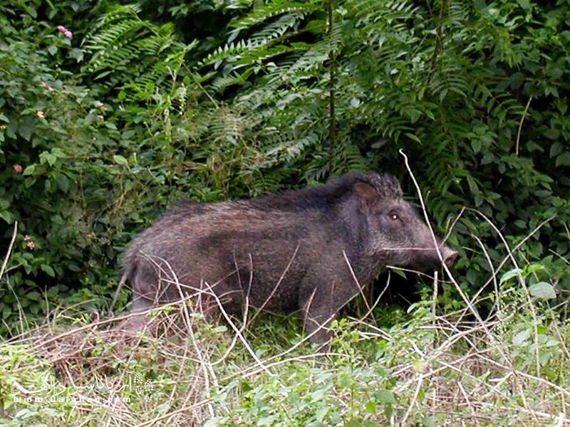 گراز یکی از ساکنین جنگلهای هیرکانی است.