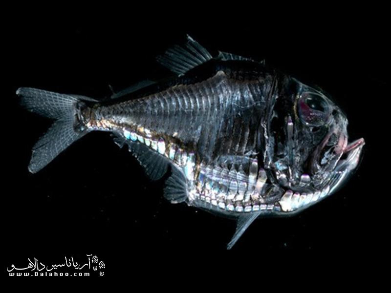 تیرماهی دریایی به خاطر شکل به خصوص و تبرگونه بدنش نامگذاری شده است.