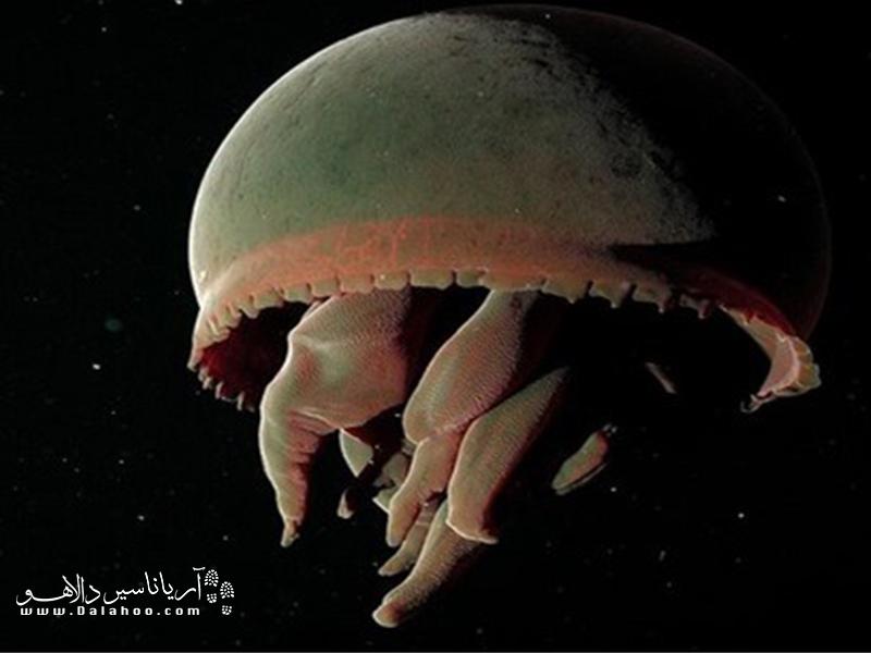 این چتر دریایی که به طرز وحشتناکی بزرگ است میتواند تا طول یک متر رشد کند.