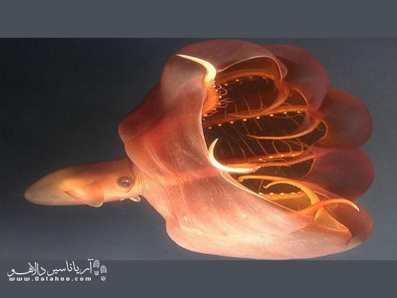 ماهی مرکب خون آشام در اعماق دریا زندگی میکند..