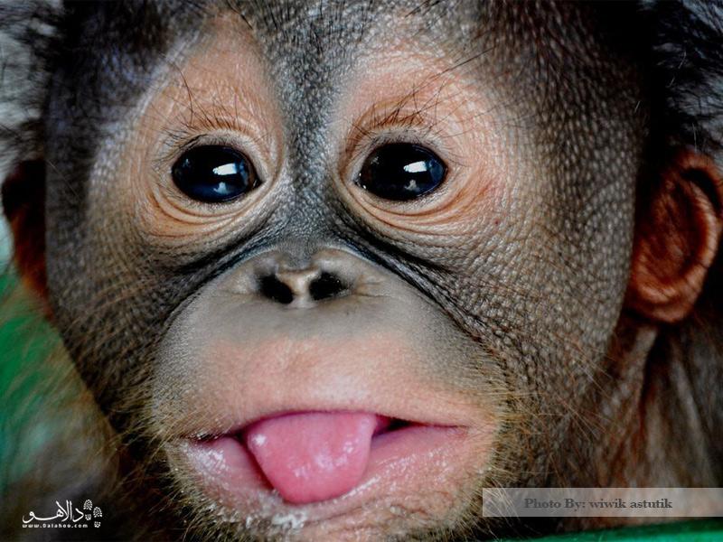 بچه اورانگوتان