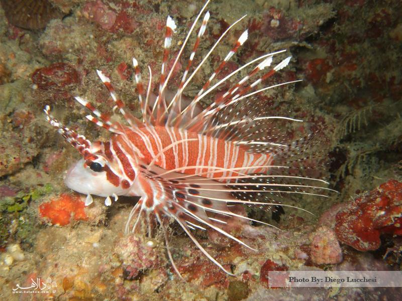 ماهی Lionfish