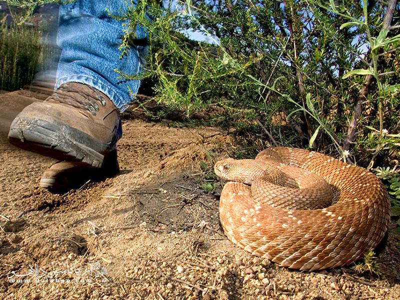 از دیگر خطراتی که ممکن است در طبیعت و کمپینگ در دل طبیعت به حد زیادی وجود داشته باشد، گزیدگی توسط انواع حشرات یا گونههای مختلف مارهاست.