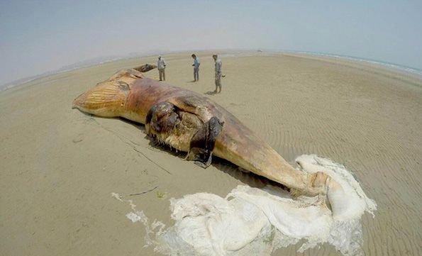 نهنگ غول پیکر در ساحل بوشهر