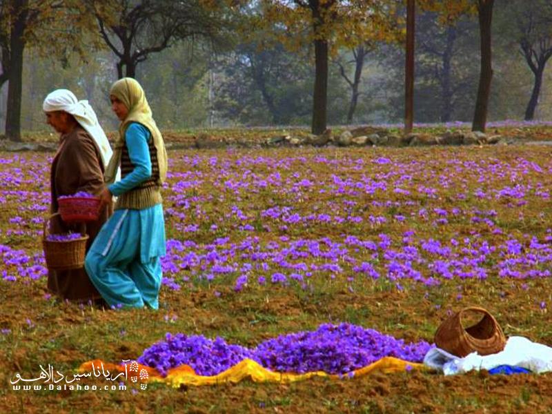 زعفران کشمیر در جهان زبانزد است.