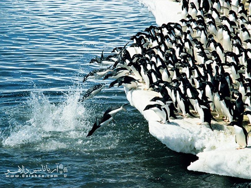 صحنهای از مهاجرت گروهی پنگوئنها.