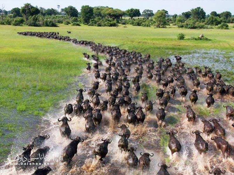 مهاجرت دستهای حیوانات در طبیعت صحنههای خیرهکنندهای میسازد.