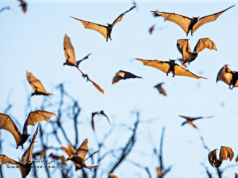 گروهی از خفاشها.
