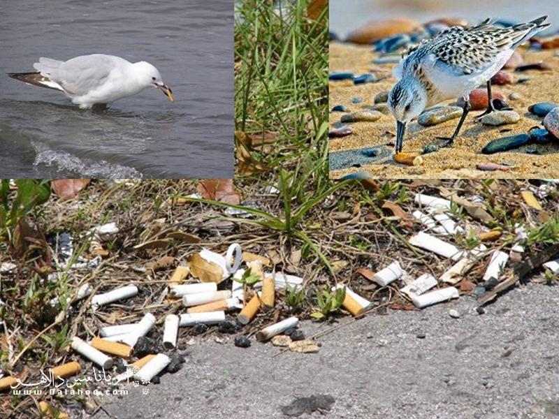 ته سیگارها جزء پسماندهای خطرناک و سمی هستند که میتوانند روی آب، خاک و تنوع زیستی ما تاثیرات منفی بسیار زیادی بگذارند.
