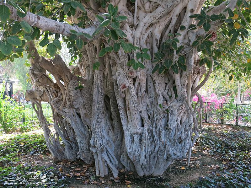 درخت سبز کیش در منطقه شمالی جزیره و محلی به نام دره پرتقالیها قرار دارد.
