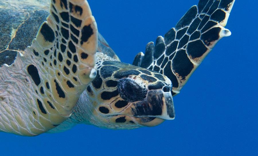 لاکپشت پوزه عقابی