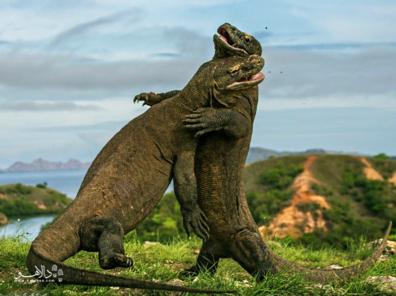 بزرگترین مارمولک دنیا در پارک ملی کومودو زندگی میکند.