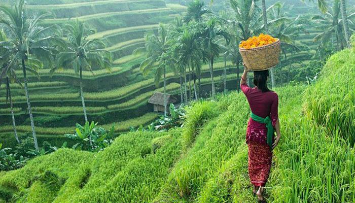 شالیزارهای برنج - بالی