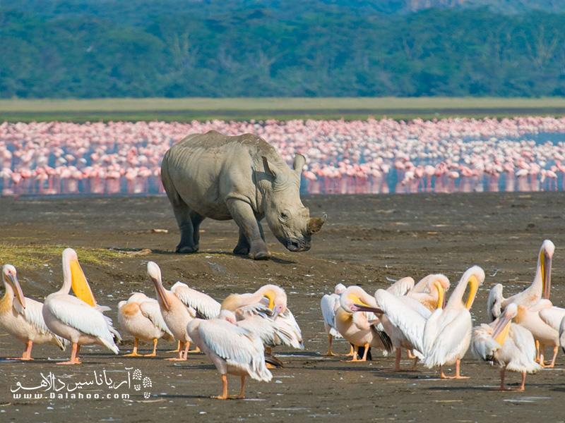 از کوچکترین تا بزرگترین جانداران حیاتوحش در پارک ملی ناکورو در کنار هم زندگی میکنند.
