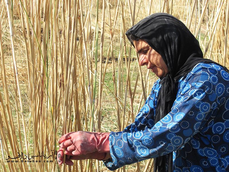 در کنار رود دز، نوعی نی میروید که جزو گیاهان بومی شهرستان دزفول است و از آن قلم نی تهیه میکنند.