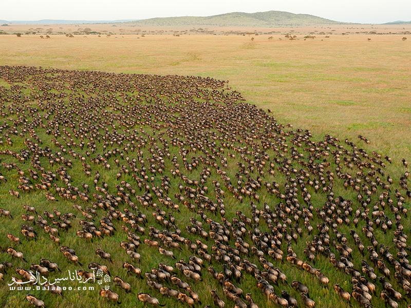 مهاجرت بزرگ گاوهای وحشی در منطقهی سرنگیتی یکی از جاذبههای مهم حیات وحش در سرنگیتی است.