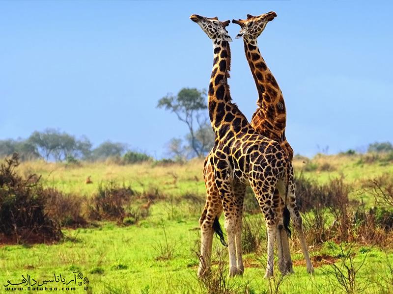 برای تماشای این زرافههای زیبا به ویزای کنیا نیاز دارید.