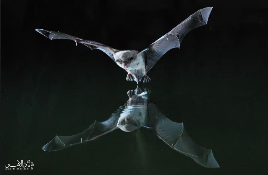 خفاش ماهیگیر