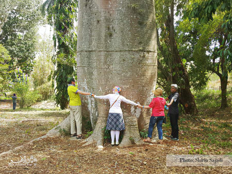 یک درخت عجیب که با قطر بسیار زیاد تنهاش، توجه همسفران ما را بدجوری به خود جلب کرد.