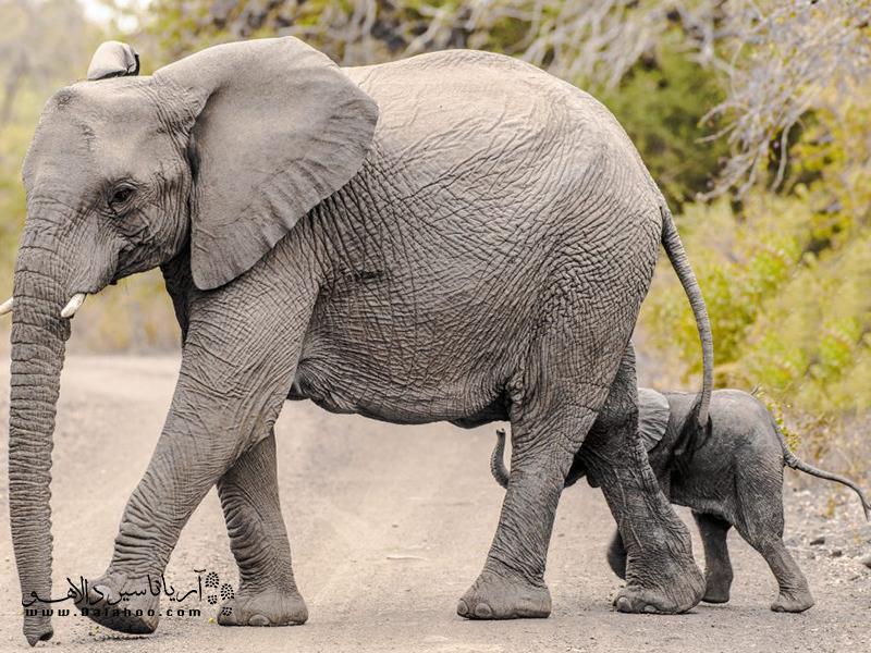 شمار افرادی که توسط فیلها کشته میشوند به اندازه قربانیان شیرها هستند!