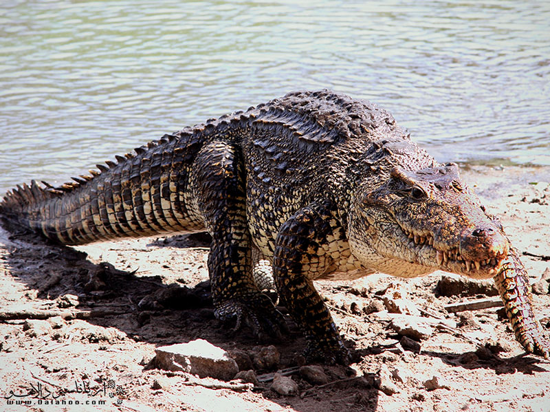 زاپاتا زیستگاه گونههای مختلف جانوری از جمله دوزیستان  است از جمله تمساح کوبایی.