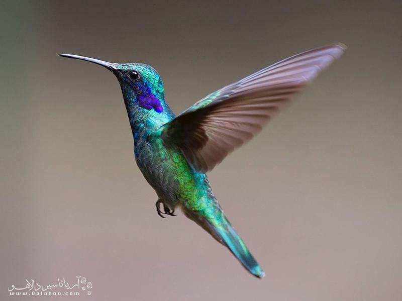 پرنده مگسخوار کوچکترین پرنده شناخته شده در دنیاست.