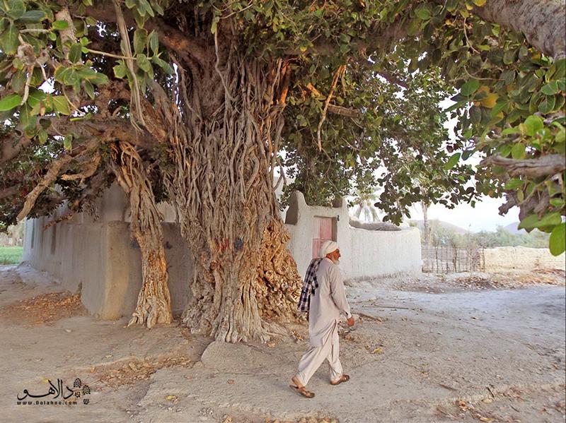 اگر درخت انجیر معابد چابهار را ببینید شیفته زیبایی بینظیر این درخت شگفتانگیز میشوید.