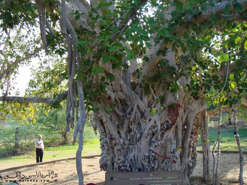 در داخل درختان انجیر معابد، شیره سفیدرنگی وجود دارد که کاربردهای درمانی از جمله کاهش درد دندان دارد.
