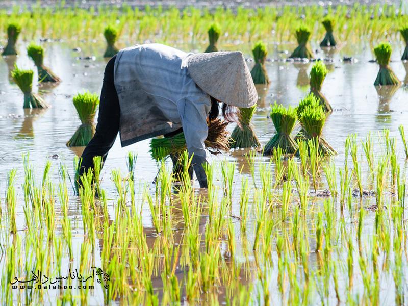 عضو اصلی غذاهای ویتنامی برنج است و مزارع برنج یکی از مناظر خوب برای عکاسی شما میتواند باشد.