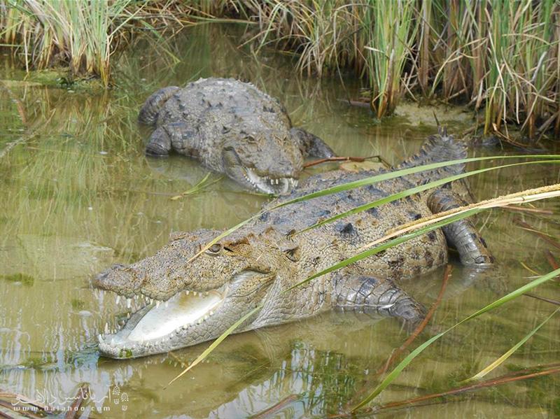 تمساح حیوانی بسیار خجالتی، محتاط و ترسو است و بهسختی میتوان آن را مشاهده کرد.