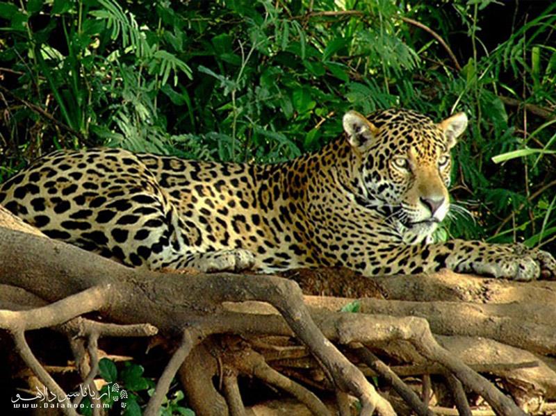 یکی از پستانداران بزرگ در حیات وحش برزیل، جگوار است.
