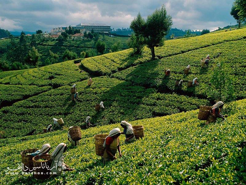 مزارع چای سریلانکا.