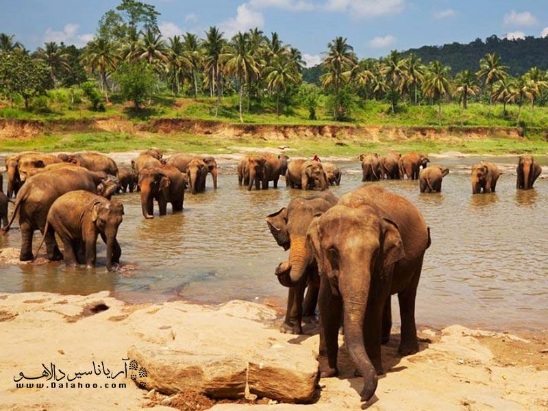سریلانکا زیستگاه فیل آسیایی است.