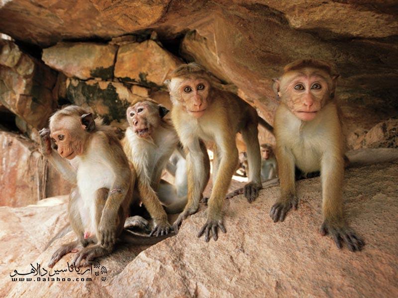 در همه جا میتوانید میمونها را ببینید.
