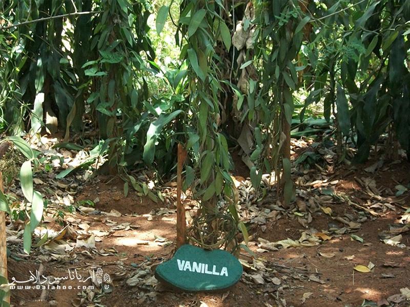 وانیل درخت است یا گیاه؟ در این مزرعه متوجه میشوید که درخت وانیل و عطر وانیل چطور رشد میکند و تهیه میشود.
